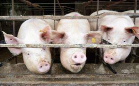 РФ подчинилась требованиям ВТО открыть импорт свинины из Европы