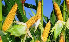 «Кукуруза – полезная и вкусная еда!»