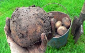Зарплата россиян в картошке за год упала на четверть